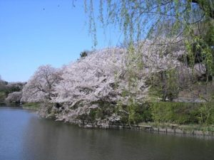三ッ池公園,桜,開花,見頃